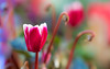 Winter Flowers (paulapics2) Tags: cyclamen fleur flora floral blümen plant nature garden bokeh depthoffield winter december outdoor colourful petals canon eos 5d mark iii sigma105mmf28exdgoshsmmacro canoneos5dmarkiii 7dwf
