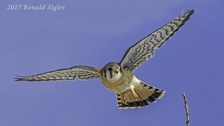 American Kestrel in flight IMG_6657