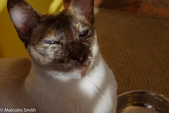 Feed Me Now (M C Smith) Tags: siamese chocolatepoint blue black white grey yellow bowl food feed chrome floor times carpet whiskers