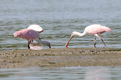Roseate Spoonbills (c) 2011 Dr Lester Shalloway all rights reserved