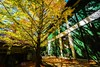 _41A1573-flickr (Shirley 's 攝影世界) Tags: 武陵農場 銀杏 樹 葉 tree trees 光影 秋天 flower flowers fall canon canon5d3 landscape