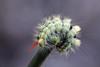 Villakarvajalka - Calliteara pudibunda - Pale tussock moth (Henri Koskinen) Tags: villakarvajalka calliteara pudibunda pale tussock moth perhonen toukka virtasalmi pieksämäki finland 27082017 caterpillar