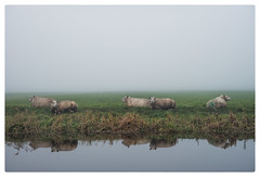 Sheep in the mist (Paulemans) Tags: sony282470zassm paulemans paulderoode schapen sheep mist reflection sony 282470 za ssm
