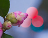 Member'schoice-Bokeh. (Omygodtom) Tags: nootkarose macrodreams macro bokeh macromondays tamron90mm tamron flower flickr red coth5 7dwf dof d7100 diamond digital flora rose nature ngc usgs