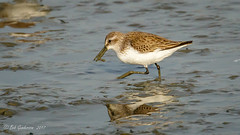 Least Sandpiper (Bob Gunderson) Tags: baylands birds calidrisminutilla california leastsandpiper northerncalifornia sandpipers santaclaracounty shorebirds southbay
