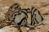 Straight Pierrot (mishko2007) Tags: caletusroxus caletuselna thailand 105mmf28 chiangdao