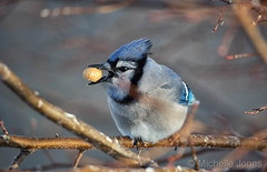 December 23, 2017 - A Blue Jay enjoys a snack in a Thornton yard. (Michelle Jones)