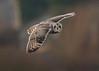Short Eared Owl (gazclarke2555) Tags: uk merseyside wildlife nature nikon d7200 sigma 150600mm sport shorty
