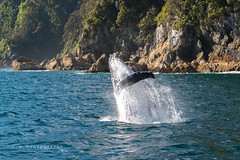 Breaching Humpback - Doubtful Sound, New Zealand (www.caseyhphoto.com) Tags: newzealand nikon nikkor d800 photography photographer casey herd 70200vrii wildlife aotearoa south island pacific breaching humpback whale doubtfulsound fjordland nationalpark fjord nature natural wilderness rural travel traveling traveler traveller travels traveled adventure adventurer adventuring explore explorer exploring discover discovering discovery tourism tourist vacation holiday wanderlust wandering jump jumping water agua fiordland