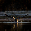Dawn Departure (Explored) (Robin M Morrison) Tags: riverstour blandford dorset cormorant dawn light water droplet