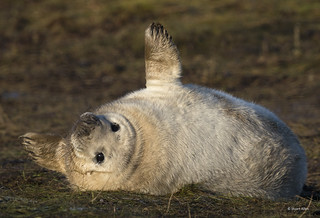 Grey Seal Pup_MG_8578