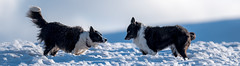 """Stage 1 - """"I'm Dracula and I'm gonna eat you"""".. .. """" Ha so? .... your talking to the best 'get them on their backs' fighter in de world!"""" (JJFET) Tags: border collie dog sheepdog"""