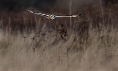 Short-eared Owl (Asio flammeus) (jkinglet2) Tags: shortearedowl owls owl skagitvalley