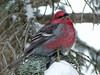 Handsome Pine Grosbeak male (annkelliott) Tags: alberta canada cochranewildlifereserve audubonchristmasbirdcount2017 nwofcalgary farm nature wildlife avian ornithology bird pinegrosbeak pinicolaenucleator finchfamily winterfinch male sideview perched tree branch snow cold outdoor winter 29december2017 fz200 fz2004 p1280317 annkelliott anneelliott ©anneelliott2017 ©allrightsreserved beautifulexpression