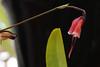 Dracula sodiroi  ドラクラ・ソディロイ (ashitaka-f studio k2) Tags: flower red dracula sodiroi ドラクラ ソディロイ ラン科 orchidaceae