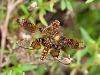 Eastern Amberwing (Perithemis tenera) ♀.