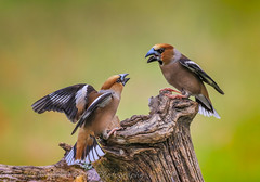 Hawfinches - (Coccothraustes coccothraustes) 'Z' for zoom (hunt.keith27) Tags: uks largest finch massive powerfulbill shy difficult hawfinch coccothraustescoccothraustes bird bill bigbeak fighting feather log clearlystuffedbirdsborrowedfromsomemuseum ngc