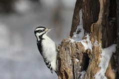 Hairy Woodpecker (Picoides villosus)(Female) (Gerald (Wayne) Prout) Tags: hairywoodpecker picoidesvillosus animalia chordata aves piciformes picidae picoides villosus female herseylakeconservationarea cityoftimmins northernontario northeastern ontario canada prout geraldwayneprout canon canoneos60d eos 60d digital camera photographed photography hairy woodpecker birds wildlife animals nature conservationarea conservation herseylake hersey lake timmins city trails birding walking sightseeing snow trees plants northern