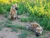 Cute hyena pups (jaffles) Tags: southafrica südafrika krügernationalpark kruger np wildlife safari natur nature beautiful olympus