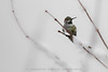 353/365 - Snow Bird (Jacqueline Sinclair) Tags: hummingbird snow bird perch sticks tree twig annas feathers tiny small winter snowing cold