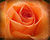 A rose at Christmas (Jan 130) Tags: rose flower christmasgift jan130 texture topazstudio coth5 ngc npc doublefantasy
