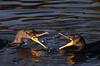Cormorant (BMADHudson) Tags: cormorant wakodahatchee greencay water splash fight beaks feather head portrait birds underwater bmadhudson