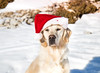 Hannah Noël 2017 (Hannah Adventure Dog) Tags: animal adventuredog explorateur retriever pets pet regard lubéron puppy sud ligthroom golden dog goldenretriever dogs dogphotography dogphoto dogphotographie doggy scenery southoffrance dogadventure dogchristmas france happy landscape montagne montventoux canon750d chien canon blanc christmas perenoel santaclaus snowman snow neige bonhomme bonhommedeneige