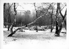 Blanketed (ronet) Tags: 35mm pentaxmz5n diydeveloped film ilford ilfordfp4 ilfotecddx scanned silverbirch snow stantonmoor trees