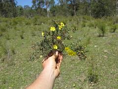 Hibbertia diffusa plant 8 DC