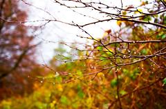 boop boop (Trang |C-Cat|) Tags: gelderland hoogsoeren netherlands nederland veluwse veluwe forest raindrop drops raindrops dutch nature branches nikon nikond3300 water waterdrop leaves green yellow orange winter autumn bokeh closeup
