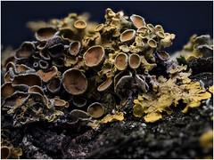 another World (tosch_fotografie) Tags: macro makro gewöhnliche gelbflechte focus stacking fokus bracketing olympus penf studio pilz 60mm f28