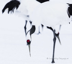 Red Crowned Cranes (pixellesley) Tags: cranes redcrownedcranes birds avian hokkaido japan snow cold feeding pristine beautiful elegant stilts ladies bustle feathers aves grusjaponensis birdwatching lesleygooding