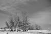 Trees (guysamsonphoto) Tags: guysamson sonyalpha7rmkiii rokinon50mmf14 bw noiretblanc niksilverefexpro
