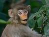 DSC_5033_RAW_43 (kentsang66) Tags: monkey 猴子