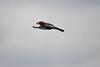 Jay (Garulus glandarius) in flight with acorn (rtatn8) Tags: stockerslake uk wildlife bird jay garrulusglandarius flikr