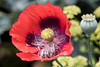 20171223_1441_7D2-100 Poppy flower after the Bumble Bees visit (357/365) (johnstewartnz) Tags: 100canon 100mmmacro 100mmf28 canon7dmarkii canonapsc 100mm 7d 7dmarkii 7d2 apsc canon 357365 day357 onephotoaday oneaday onephotoaday2017 365project project365 flower poppy