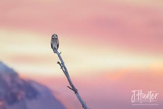 Short-eared Owl 3