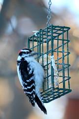 26. Hairy woodpecker staredown (Misty Garrick) Tags: arboretum minnesotaarboretum minnesotalandscapearboretum bird birding woodpecker hairywoodpecker mnarblife