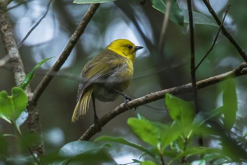 Yellowhead - New Zealand_FJ0A7148