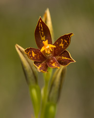 Thelymitra-jacksonii (Rattlepod) Tags: red orchid rare late