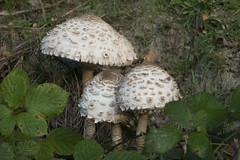 Parasol mushrooms (wietsej) Tags: parasol mushrooms gevaertsnoord beernem belgium rx10 rx10m3 rx10iii paddestoel mushroom nature fungus