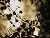 3244-2017-BR (elfer) Tags: 06naturaleza vegetaciónderibera parqueregionaldelsureste rivasvaciamadrid hojas contraluz madrid españa