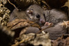 Dormouse family (ToriAndrewsPhotography) Tags: dormouse woodland oak natural workshop photography andrews tori hedgerow