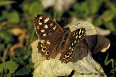 Speckled Wood (ammonite 1) Tags: butterfly speckled wood leafy glade summer