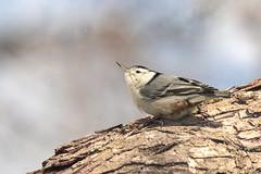 Petite pause.... (chana4 ( Nancy Charlton)) Tags: jardinbotanique sitelle sitelleapoitrineblanche nature arbre oiseau oeil bec bokeh