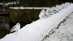 Free Thinker (_J @BRX) Tags: blackheadedgull compensationreservoir longwood huddersfield december 2017 gull seagull commongull yorkshire england uk nikon d5200 winter snow dam bird