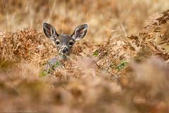 Young Concern (tbtalbottjr) Tags: prairiecreekredwoodsstatepark california orick elkprairiecampground yearling blacktaileddeer