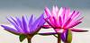 Water Lilies (Roniyo888) Tags: nymphaea nymphaeaceae water lily aquatic plant purple closeup olympus omd em1 macro garden flower