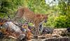 I can see you ..... (ShehanT) Tags: leopard nature naturephotography ngc naturesrilanka naturelover mothernature wildlife wildlifephotography yalanationalpark srilanka canoneos70d canonef70300mm canon safari cat wildlifeperfection animals animalplanet