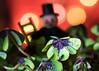 Cheers (marionrosengarten) Tags: macro newyear happynewyear luck clover cloverleaf chimneysweeper glück schornsteinfeger tamron90mmf28divcmacro nikon chance green plant light bubbles bokeh bubblebokeh colours